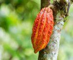 Ripening cocoa pod