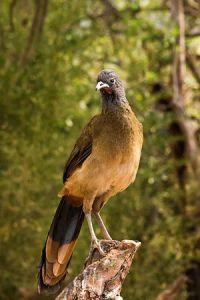 cocrico bird