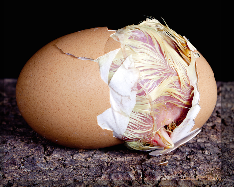 Chick in cracked eggshell