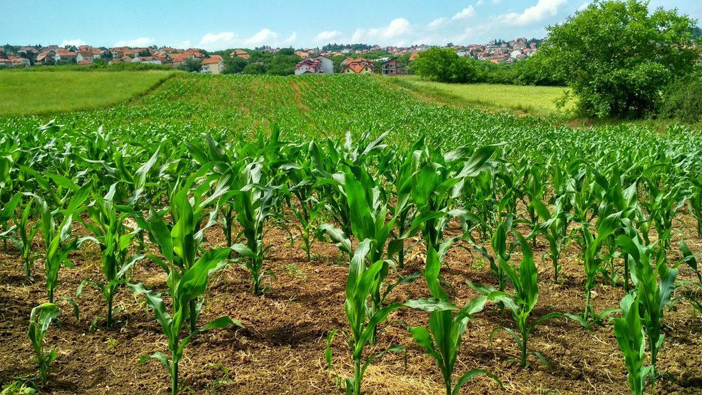 corn plant in field